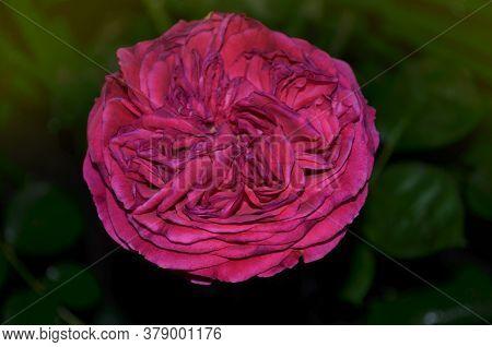 Rose Purple Violet