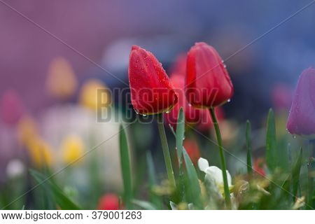 Red Spring Blooming Tulip Parad Field