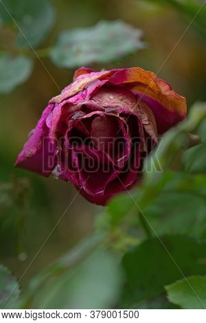 Withered Rose In The Garden. Roses Die In The Garden