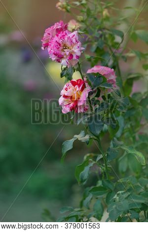 Rose Camille Pissarro