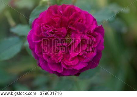 Munstead Wood Roses In Garden. English Rose Munstead Wood