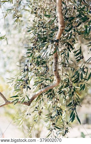 Ripe Black Olives On The Branches Of The Tree.
