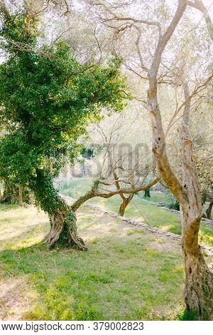 Olive Grove In Montenegro - An Unusual Form Of Tree Trunk, Overgrown With Ivy.