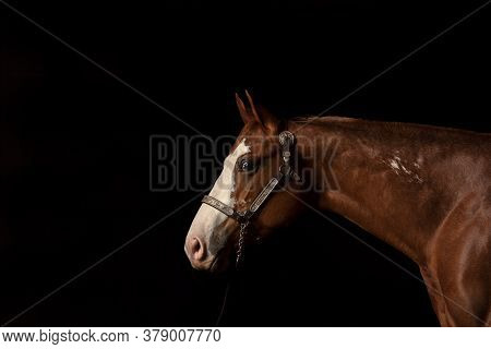 Portrait Of Bay Horse With White Blaze On Black Background Next To A Window, Front Side View, With Y