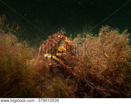 A Closeup Underwater Picture Of A Crab Taking Shelter In Seaweed. Picture From Oresund, Malmo In Sou