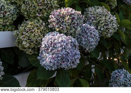These Are  Inflorescences Of Multicolored Hydrangea On A Growing Bush In The Fall.