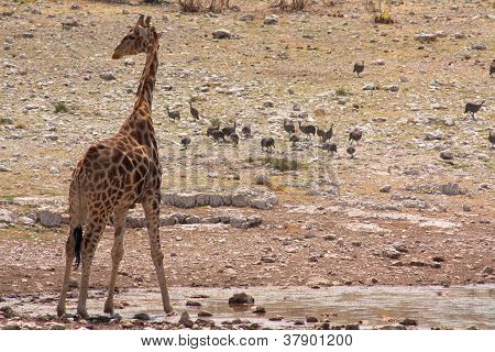 The giraffe (Giraffacamelopardalis)
