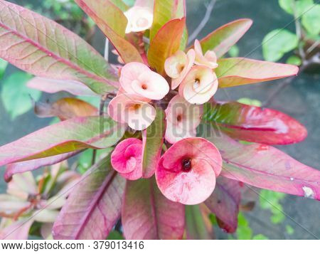 Good Looking Euphorbia Flowers With Skin And Red Tones On It.the Leaves Also Has Red And Green Shade