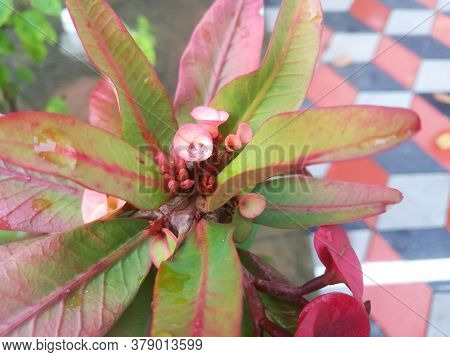 Euphorbia Flowers With Red And Skin Tone Color On It.the Flowers Have Its Buds Also.the Leaves Have