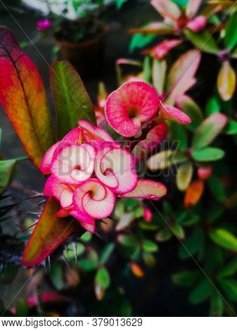 Euphorbia Flowers With A Red Shade To The Flowers And Leaves On It.the Leaves Have Green And Red Sha