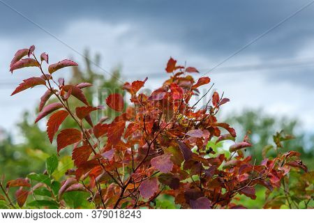 Shrub Branches With Red Leaves Against A Gray Sky With Clouds.