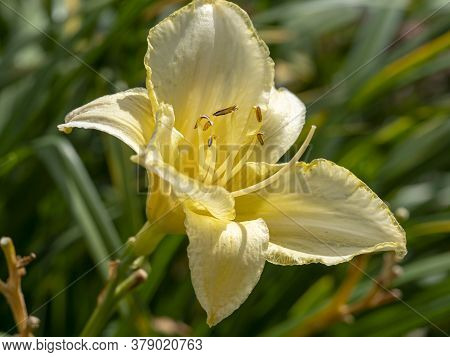 Closeup Of A Pale Yellow Hemerocallis Daylily Flower, Variety Ice Carnival, In A Garden