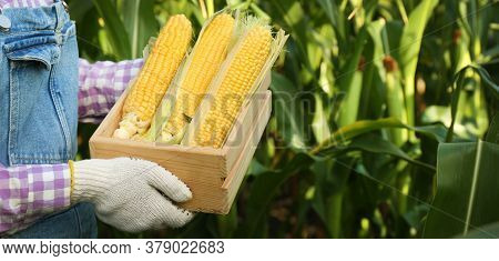 Woman With Wooden Crate Of Fresh Ripe Corn In Field, Closeup And Space For Text. Banner Design