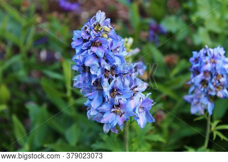 The Picture Shows Blue Larkspur In The Garden