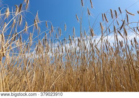 An Agrarian Country, A Leader In The Production And Cultivation Of Wheat.