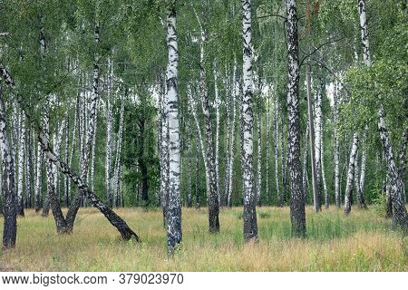 Birch Trees Landscape In A Wild Grove.