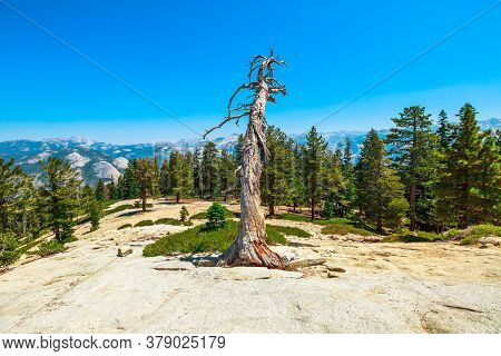 Trees Of Sentinel Dome Summit In Yosemite National Park. El Capitan And Half Dome. Summer Travel Hol