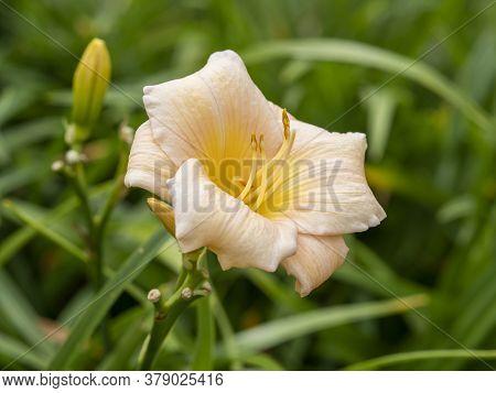 Closeup Of A Beautiful Peach Hemerocallis Daylily Flower, Variety Mini Pearl, In A Garden