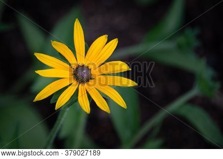 A Single Bloom Of The Flower Called Black-eyed Susan, Rudbeckia Hirta