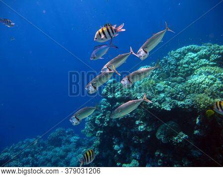Fish . Mackerel. South Asian Mackerel. This Mackerel Grows Up To 35 Cm. It Feeds On Plankton And Cav