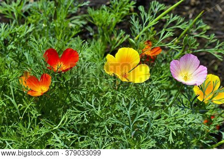 Beautiful Red Orange And Purple Flowers California Poppies
