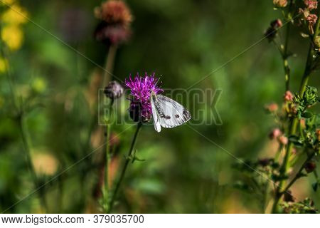 Cabbage White Butterfly Takes Nectar From Thistle Blossom