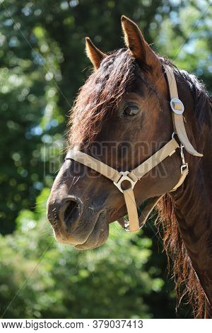 Close-up Portrait Of A Young Morgan Breed Stallion Portrait In The Paddock On A Clear Sunny Day. Hea