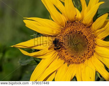 Close-up Of Sunflower, Helianthus Annuus, With Humblebee