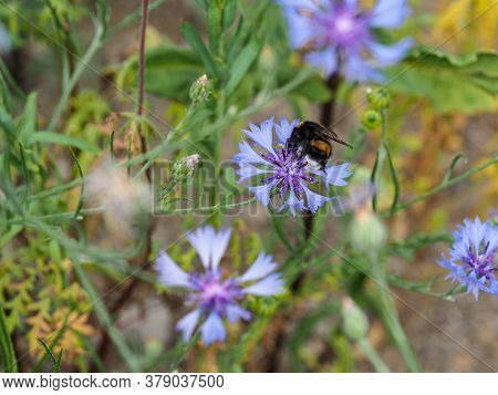 Humblebee Takes Nectar From Blue Cornflower Blossom