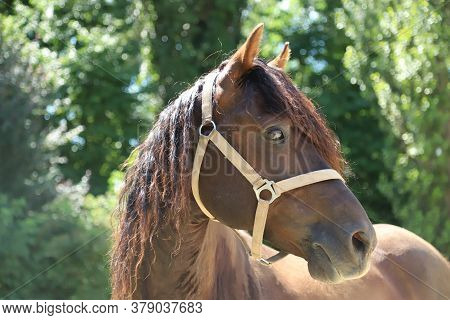 Headshot Of A Beautiful Stallion. Adult Morgan Horse Standing In Summer Corral Near Feeding Station