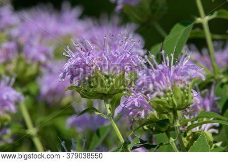 Bee balm growing in a backyard garden. The scientific name, Monarda is a genus of flowering plants i