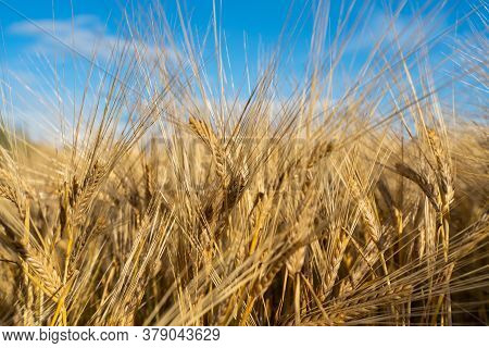 Barley Field. Ears Of Golden Barley. Beautiful Sunset Landscape. Background Of Ripening Ears.. Agric