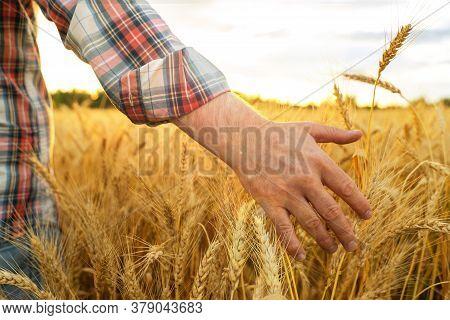 Barley Sprouts In A Farmers Hand.farmer Walking Through Field Checking Barley Crop
