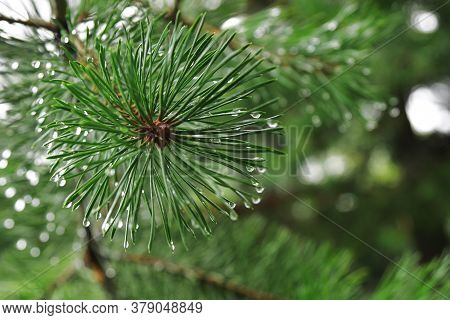 Close-up Pine Tree Needles With Big Shining Water Drops After Summer Rain. Morning Dew On Coniferous