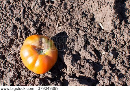 Decomposing Kitchen Waste On Organic Matter. Rotten Tomato On A Compost Heap.