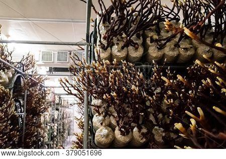 mushroom ganoderma in the farm at Puli town, Nantou, Taiwan