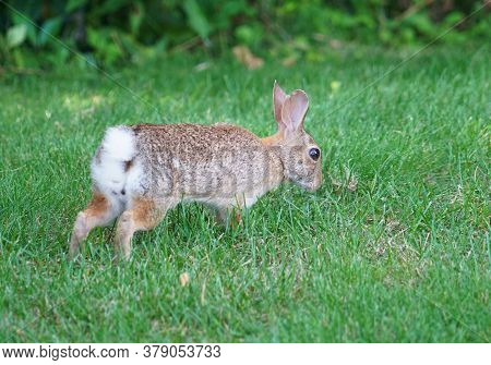 Close Up On Wild Rabbit Crawl On The Lawn