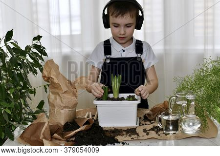 The Child Is Engaged In Gardening At Home. Carefully Touches The Leaves Of Sprouted Hyacinth Bulbs.