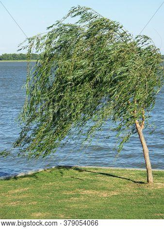 Tree on shoreline blowing in a heavy wind