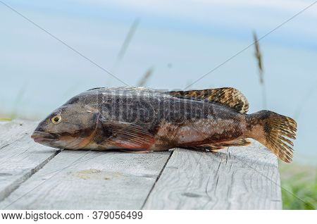 Bass Fishing. Large Sea Bass Terpug On A Table Made Of Rough Wooden Planks On The Beach. Selective F