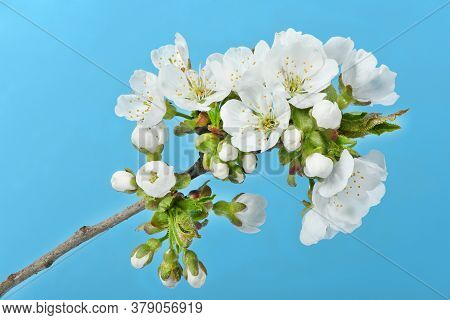 Branch Of Cherry Blossom Flowers Against A Blue Sky. High Resolution Photo. Full Depth Of Field.