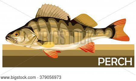 Perch Common Fish. Predatory River Fish. European Fish. Edible. Fishing For Perch. River, Lake. Stri