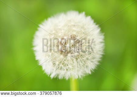 Photo Nature Plant Fluffy Dandelion. Blooming White Dandelion Flower On The Background Of Plants And
