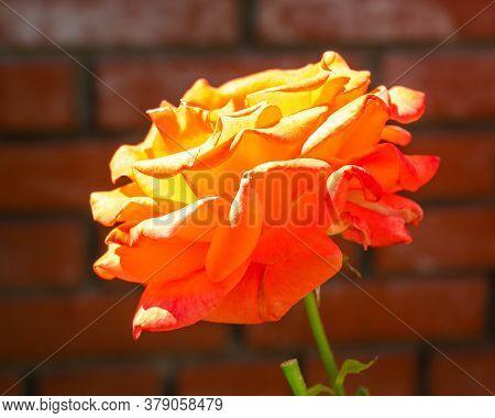 Beautiful Pale Orange Rose On The Background Of A Brick Set
