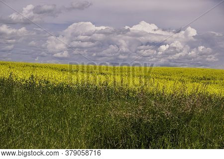 Organic Canola Field Landscape With Clouds In Blue Sky