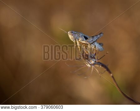 Grasshopper In Its Natural Environment. Macro Photography.