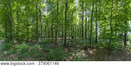 Panoramic View Of An Oak Forest With Green Leaves In Germany