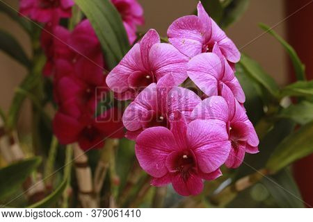 Close Up Photo Of Orchid Inflorescence With Stem And Leaves In A Pot...