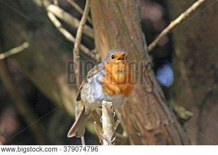 Robin Perched In A Tree In The Winter