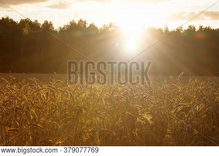 The Sunbeams Of The Setting Sun Illuminate The Ears Of Ripe Wheat/ Field Of Ripe Wheat In The Rays O